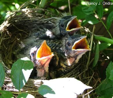 baby-robins-by-side-door-2-june-19-06