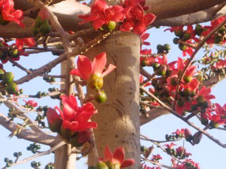 bombax-ceiba-resized-up-close