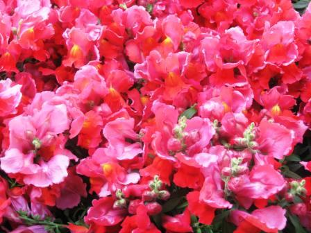 close-up-of-strawberry-colored-snapdragons-ta-21709-revised