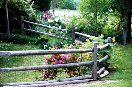 fenced-in-area-roses-growing-on-fence-resized