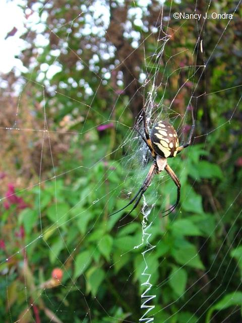orb-weaver-spider-in-garden-3-sept-23-05