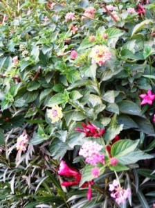 pink-and-yellow-lantanas-and-oleanders-resized