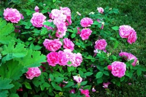 pink-roses-growing-on-fence-resized