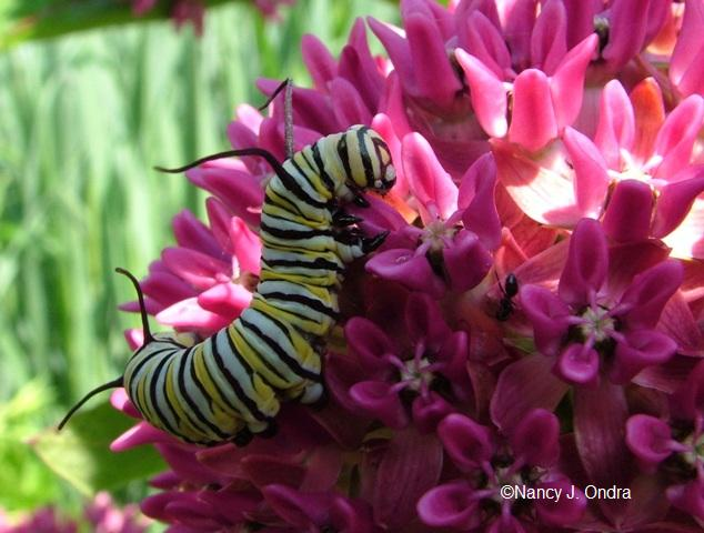 swallowtail-larva-june-18-08