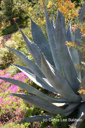 agave_americana2