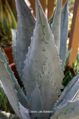 agave_americana_leaves2