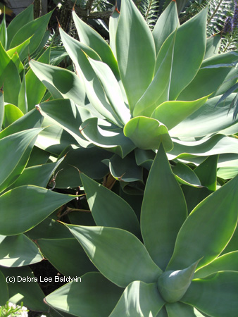 agave_attenuata_cluster3