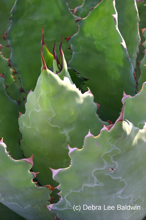 agave_guadalajarana5