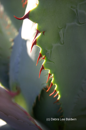 red_toothed_agave2