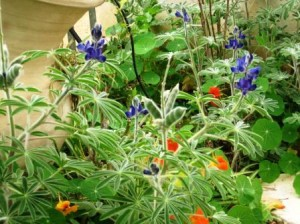 school-gardens-reisze-entryway-lupines-and-nasturtiums