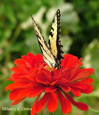 zinnia-big-red-swallowtail-aug-15-07