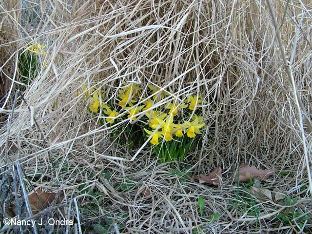 daffs-under-debris-april-13-09
