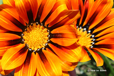 gazania_duo_resized