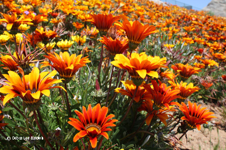 gazania_hillside_resized