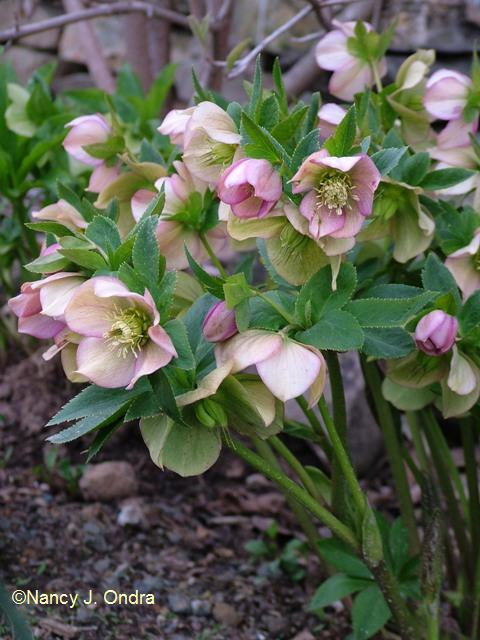 helleborus-x-hybridus-pink-buff-april-13-09