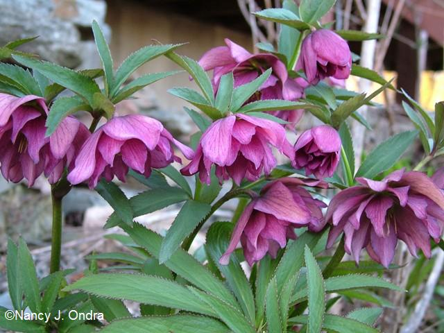 helleborus-x-hybridus-unnamed-double-april-13-09