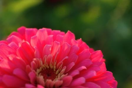 Zinnia elegans 'Uproar Rose'
