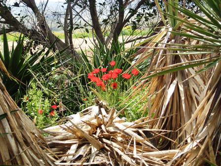 wildflower-meadows-poppies-in-center-ofagaves-resized-not-compressed