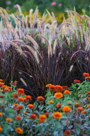 zowie-yellow-flame-pennisetum