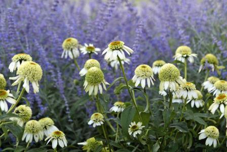 Echinacea purpurea 'Coconut Lime' with Perovskia atriplicifolia (background)
