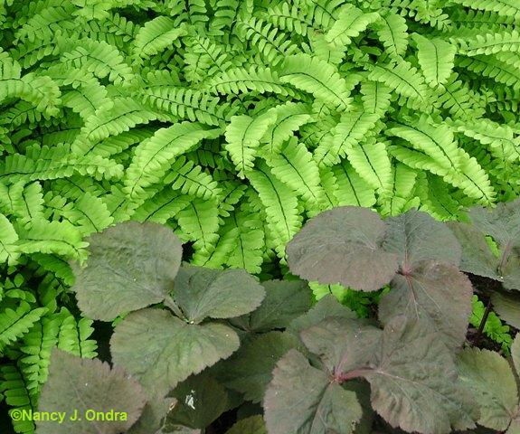 adiantum-pedatum-and-cryptotaenia-late-may-05-nm