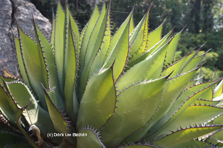agave-shawii-resized