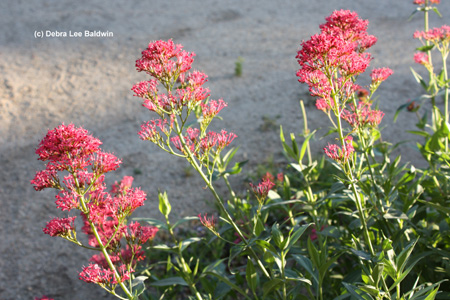 centranthus-w-c-resized