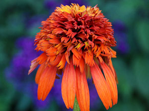 Echinacea purpurea 'Hot Papaya' (Image courtesy of Coneflower.com)