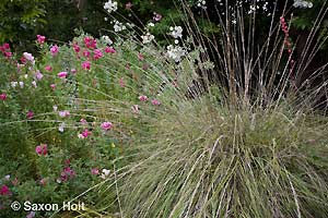 Deer grass and Godetia