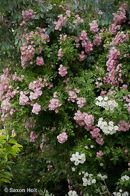 Rosa 'Apple Blossom'