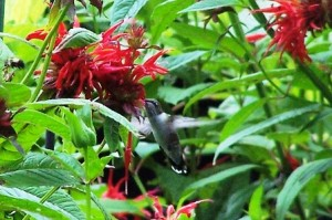 hummingbird_bee_balm1-resized
