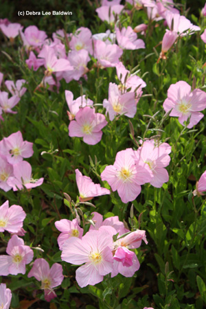 mexican-evening-primrose-resized