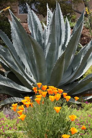 poppies-and-agave-w-c