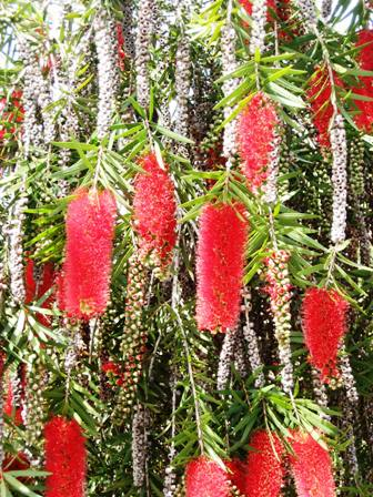 red-dripping-plant-callistemon-resized