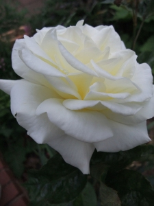 White rose, patient gardener