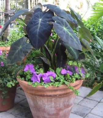 Colocasia esculenta 'Black Beauty' (Image courtesy of Agristarts, Inc.)