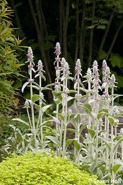 Stachys in front of maple