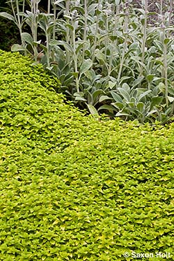 Golden oregano groundcover