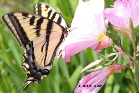swallowtail-resized