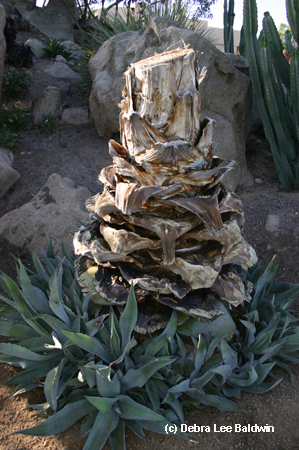 Agave americana trunk