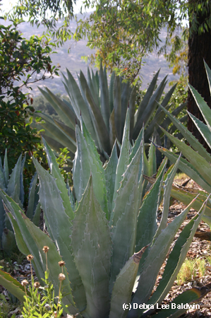 Agave americana