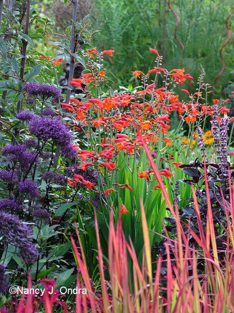 Crocosmia Lucifer Aug 12 08