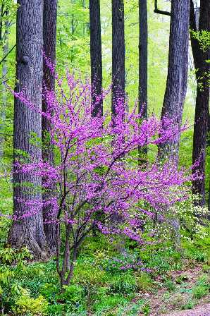 RCP_090430_2095[1].jpg-redbud-resized
