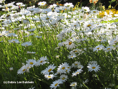 Shasta daisies copy