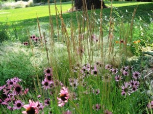echinacea and grasses-resized