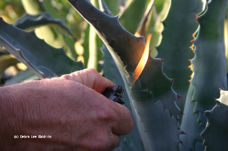 Agave flame