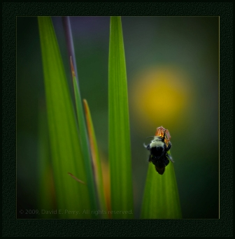 David Perry-bee on sword shaped leaves.jpg-resized