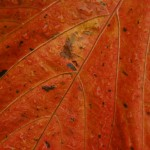 Orange leaves 003
