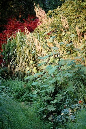 Plume poppy and miscanthus-resized