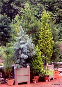 THBG conifer potst